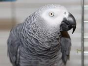 Phi thường - kỳ quặc - Tưởng ăn trộm trót lọt, không ngờ thất bại vì một con vẹt