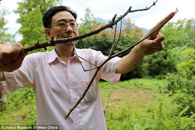 Con bọ que khổng lồ nhất thế giới, dài như cánh tay người - ảnh 1