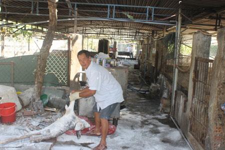 Khánh Hòa: Hơn 150 con lợn chết bất thường, dân chôn không xuể - ảnh 1
