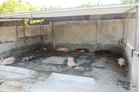 Khánh Hòa: Hơn 150 con lợn chết bất thường, dân chôn không xuể - ảnh 2