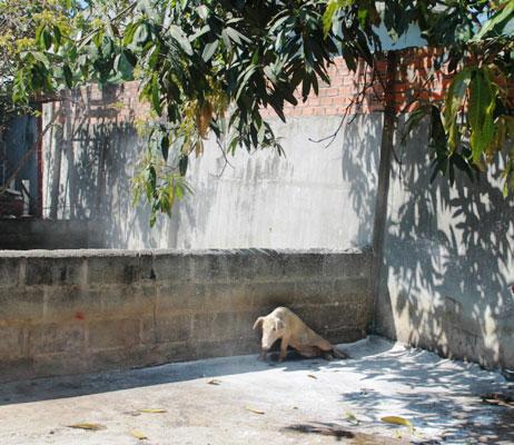 Khánh Hòa: Hơn 150 con lợn chết bất thường, dân chôn không xuể - ảnh 3