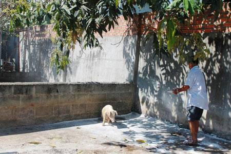 Khánh Hòa: Hơn 150 con lợn chết bất thường, dân chôn không xuể - ảnh 4