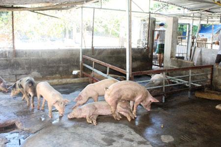 Khánh Hòa: Hơn 150 con lợn chết bất thường, dân chôn không xuể - ảnh 5