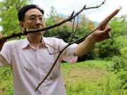 Phi thường - kỳ quặc - Con bọ que khổng lồ nhất thế giới, dài như cánh tay người