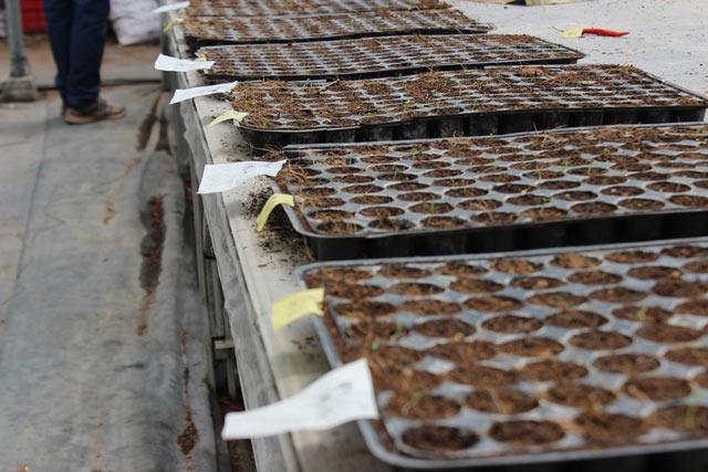 Chuyện lạ có thật: Thu chục tỷ đồng mỗi năm nhờ trồng ớt...lấy hạt - ảnh 2
