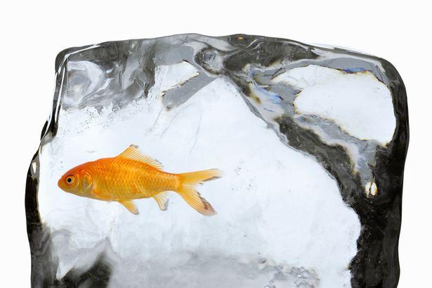 Nguyên nhân nước đóng băng không giết được cá vàng - ảnh 1