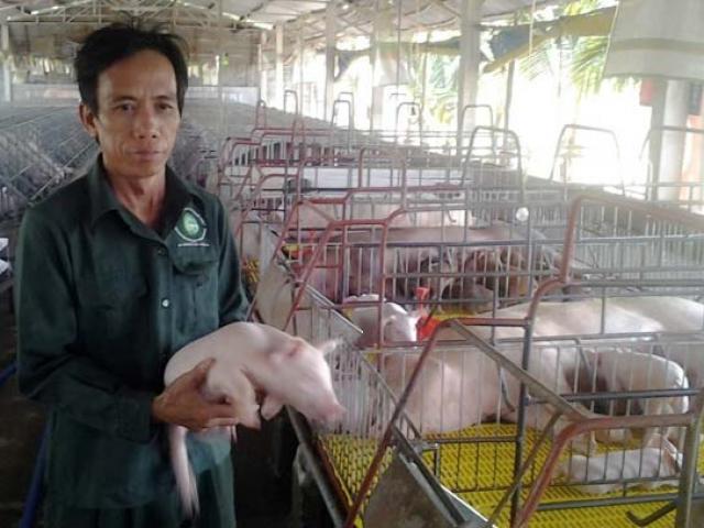Đổ xô tìm giống lợn tái đàn, giá 1 triệu/con