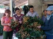 """Mùa nhãn ở Sơn Thủy được ví như  """" mùa vàng """""""