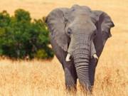 Thợ săn châu Phi bị voi khổng lồ giẫm chết