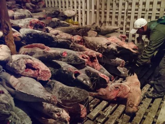 Hàng ngàn xác cá mập chất thành đống, kín đặc tàu TQ