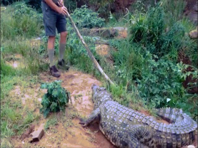 Chuyên gia cá sấu cầm gậy chọc cá sấu khổng lồ và cái kết