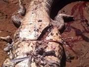 Brazil: Mổ bụng cá sấu thấy thi thể người bên trong