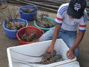 Thị trường - Tiêu dùng - Vùng nuôi tôm hùm ô nhiễm nghiêm trọng