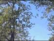 Dại dột đuổi sóc bay, báo lao đầu từ ngọn cây xuống đất