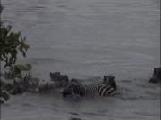 Cá sấu đớp ngựa vằn, hà mã lao vào làm điều khó lường