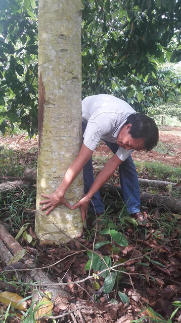 """Người thích trồng """"cột chống trời"""", mỗi cây dổi cho thu 1 cây vàng - 3"""