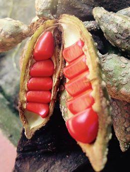 """Người thích trồng """"cột chống trời"""", mỗi cây dổi cho thu 1 cây vàng - 4"""