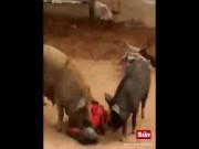 Hai lợn khổng lồ tấn công, cắn xé người phụ nữ Ấn Độ