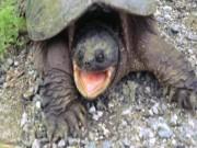 Cho rùa khổng lồ ăn, không ngờ bị đớp cực nhanh, rút tay không kịp