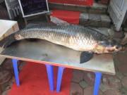 Bắt được cá trắm  khủng , dài gần 1,5m trên hồ Thác Bà