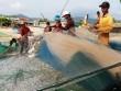 Gặp đàn cá cơm dày đặc, ngư dân Ninh Thuận hốt bạc triệu
