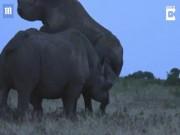 Tê giác đực hất văng tình địch rồi nhảy vào  yêu