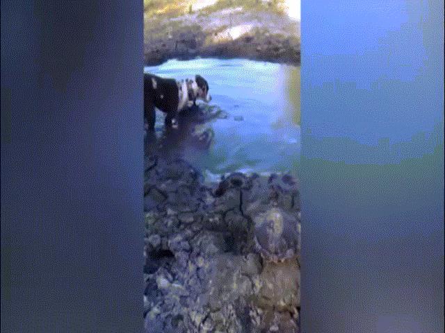 Chó mon men bên hố nước, tích tắc đã nằm trong mồm cá sấu