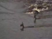 Thế giới - Thấy linh dương qua sông, cá sấu lao đến như thuyền cao tốc