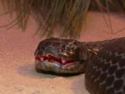 Loài rắn kịch độc đến mức 10 triệu năm không cần tiến hóa