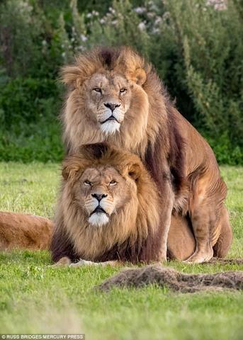 Nhiều người nghi ngờ đây là sư tử đồng tính.