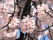 Phát minh y học - Ngọt ngào sắc hoa anh đào