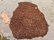 Thế giới - Kinh dị đảo kiến lửa khổng lồ trôi nổi sau siêu bão ở Mỹ
