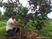 Thị trường - Tiêu dùng - Hành trình trồng cam sạch của cô gái xứ Nghệ