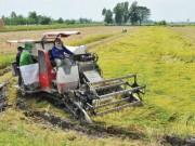 Thị trường - Tiêu dùng - Trồng lúa, nông dân Việt khó ngẩng đầu