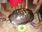 """Tin tức trong ngày - Đi thắp hương ngày rằm tháng 7, bắt được cụ rùa """"khủng"""" nặng 15kg"""