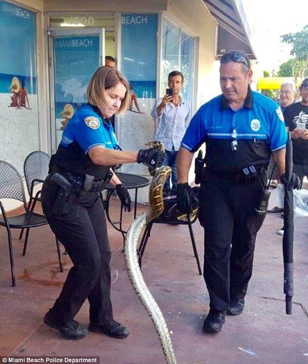 Trăn khủng khiến cảnh sát nam sợ hãi, cảnh sát nữ lao vào tóm sống - 2