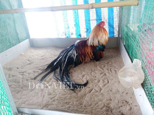 Chiêu lạ có 1-0-2: Chải lông, vuốt đuôi cho gà kiểng thành triệu phú - 2