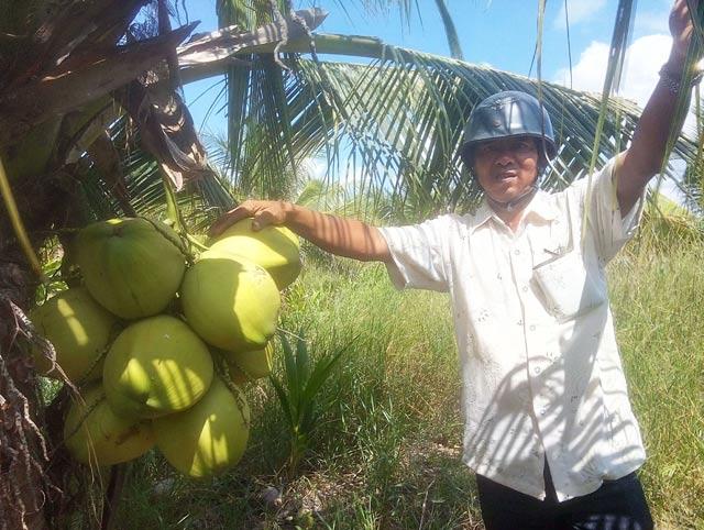 Làm giàu ở nông thôn: Trồng 700 cây dừa 2 tuổi, thu 15 triệu/tháng - 2