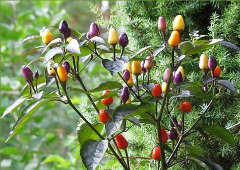 Hoa mắt với cây ớt