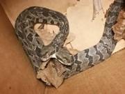 Phi thường - kỳ quặc - Thợ điện hốt hoảng phát hiện rắn đuôi chuông hai đầu trong nhà dân