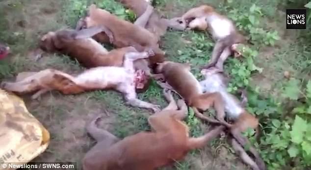 Hổ gầm lên đe dọa, 12 khỉ đột trụy tim chết ngay tại chỗ - 1