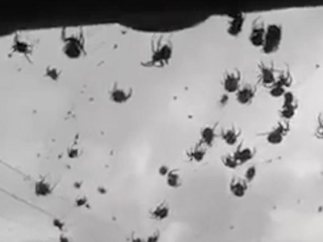 Hàng triệu con ốc đen hành quân phủ kín bờ biển Mỹ - 1