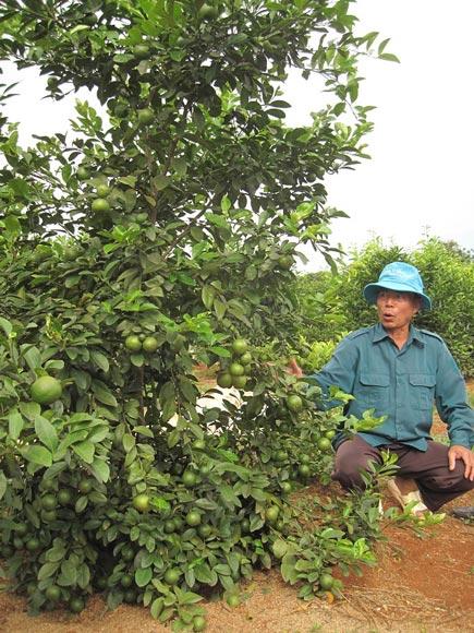Bỏ ngô, chặt cà phê, trồng nhãn, cam, bưởi, lãi nửa tỷ/năm - ảnh 2