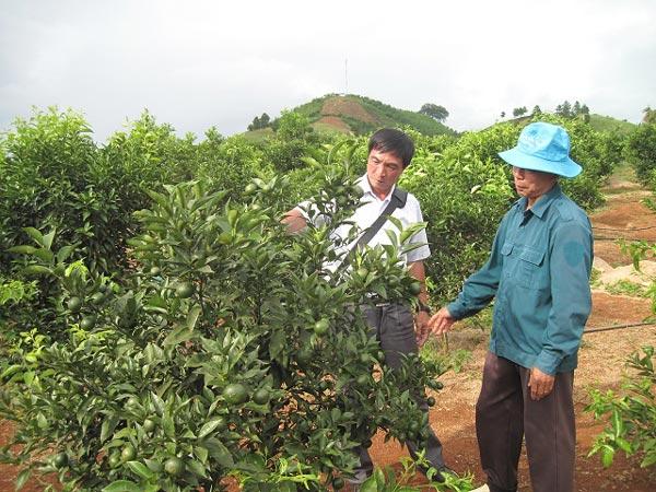Bỏ ngô, chặt cà phê, trồng nhãn, cam, bưởi, lãi nửa tỷ/năm - ảnh 3