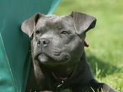 Thế giới - Anh: Chó becgie ăn ma túy, cắn chết chủ trước mặt phóng viên