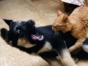 """Video Clip Cười - Đừng bao giờ dắt bọn chó """"ngáo đá"""" này ra đường"""