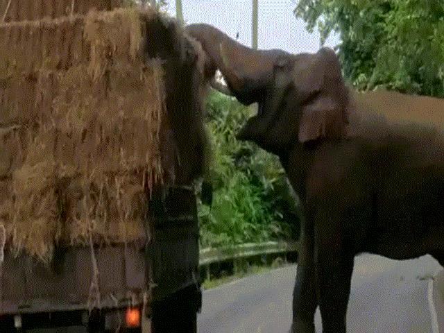 """Voi khổng lồ chặn xe tải, thản nhiên """"cướp đồ"""""""