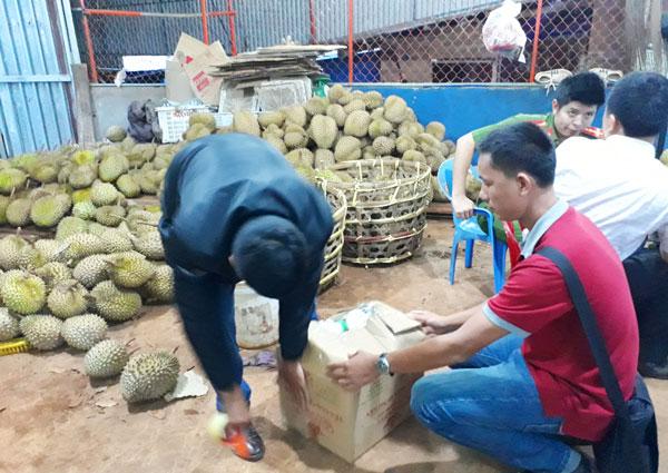 Gia Lai: Bắt quả tang cơ sở dùng phân bón lá nhúng sầu riêng - 1
