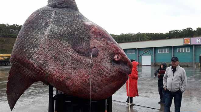 """Nga: Ngư dân bắt cá """"quái vật"""" nặng 1 tấn, đem cho gấu ăn - 1"""
