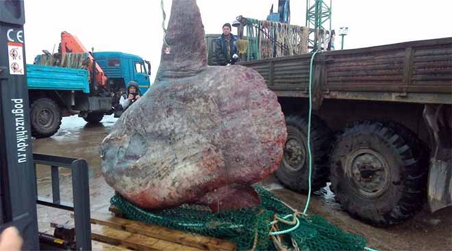 """Nga: Ngư dân bắt cá """"quái vật"""" nặng 1 tấn, đem cho gấu ăn - 2"""